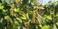 Naredba o poduzimanju mjera za sprječavanje širenja i suzbijanje zlatne žutice vinove loze